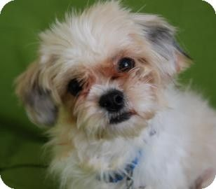 Philadelphia Pa Maltese Mix Meet Max A Dog For Adoption Pet