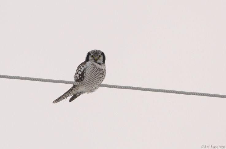 Hawk owl #owl