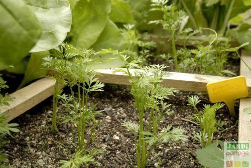 r ussir la culture de la carotte en 10 conseils carr potager potager et carottes. Black Bedroom Furniture Sets. Home Design Ideas