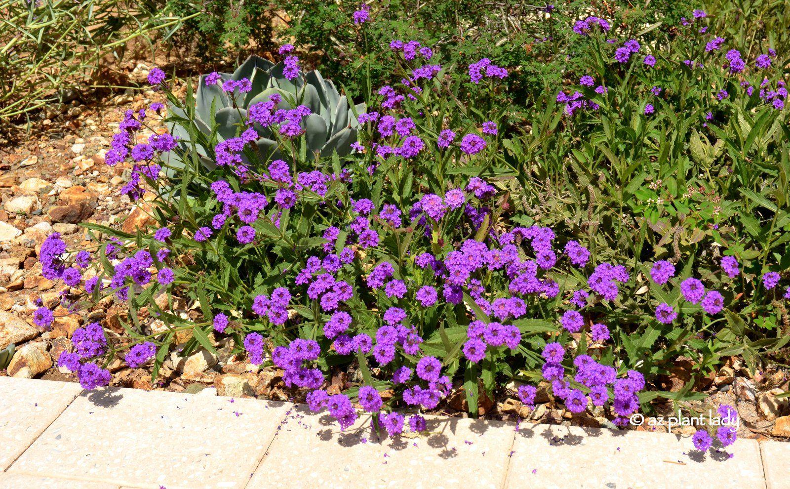 Sandpaper Verbena Glandularia Rigens Drought Tolerant Garden Desert Garden Ground Cover Plants