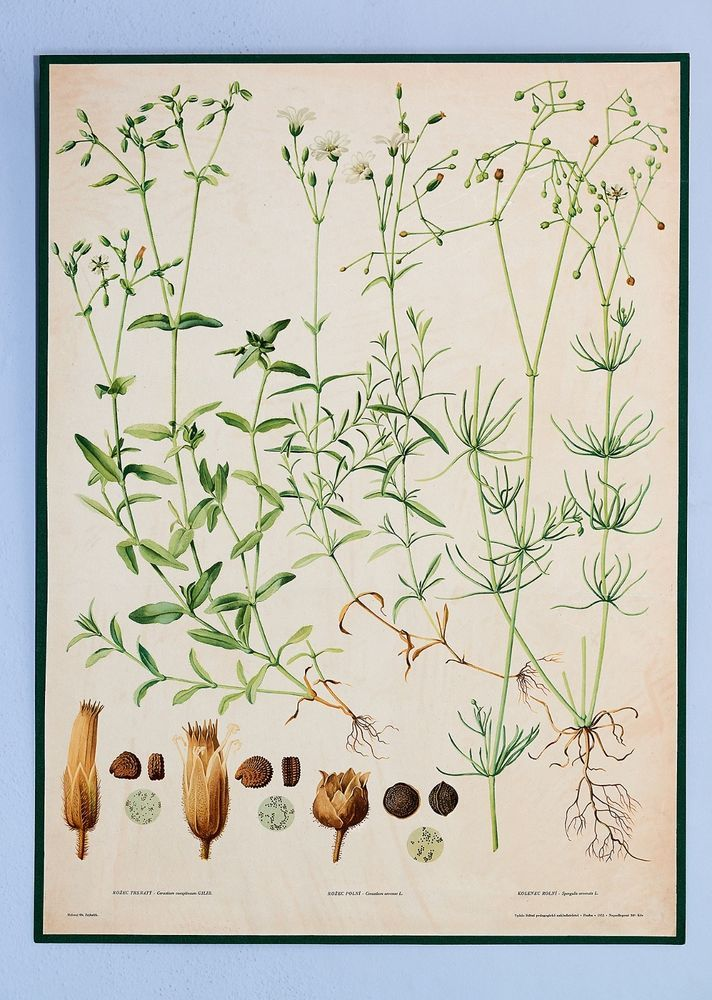 Antique School Botanical Poster With Three Plants Vintage Old
