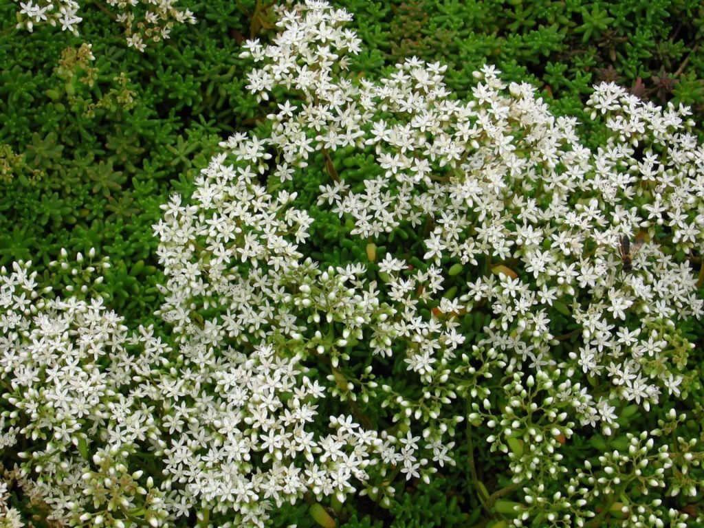 Planter Dans Un Talus sedum album (white stonecrop) | plante pour talus, jardins