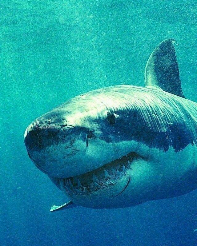 Boatim White Sharks Shark Great White Shark