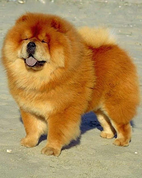 Pet Grooming Chow Dog Breed Chow Chow Dogs Chow Chow