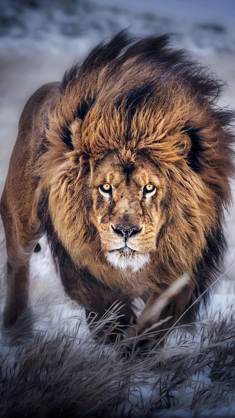 Iphone X Wallpaper Screensaver Background 022 Lion Ultra Hd