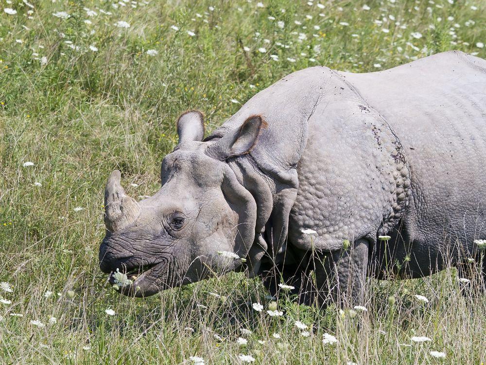 A Crash of Rhinos See All 5 Species Rhino species