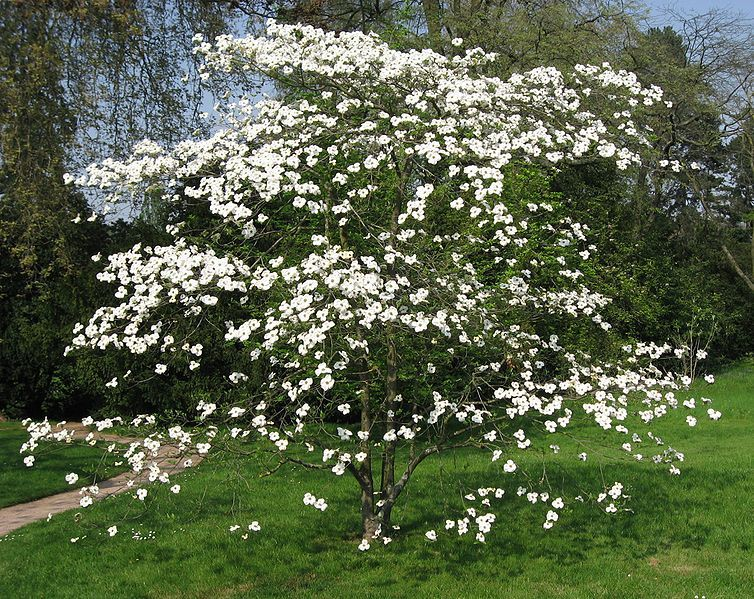 White Flowering Dogwood Tree Cornus Florida Northern Quality Seeds For Sale Call Us At 1 315 4971058 Flowering Dogwoo Dogwood Trees Plants Flowering Trees