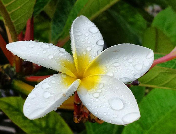 Top 163 most beautiful popular different types of flowers for your plumeria flower types with pictures mightylinksfo