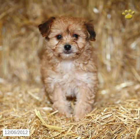 Tessa York Chon Puppy For Sale In Paradise Pa York Chon