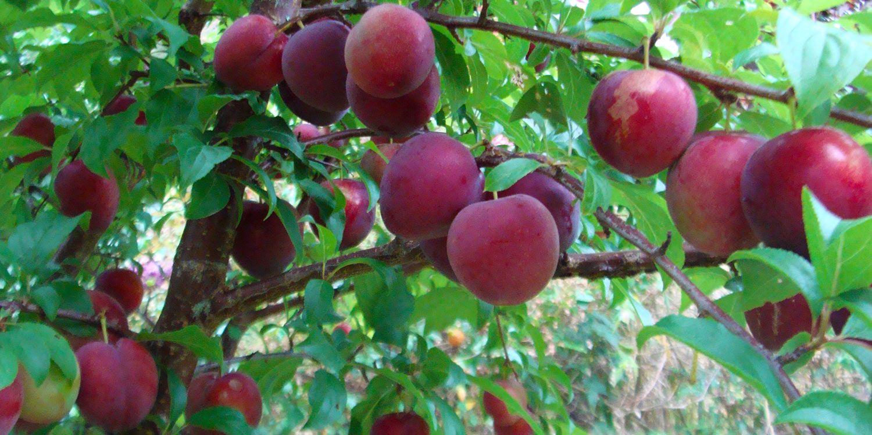 When To Prune Fruit Trees Nz Kings Garden Growing Fruit Trees Growing Fruit Trees To Plant