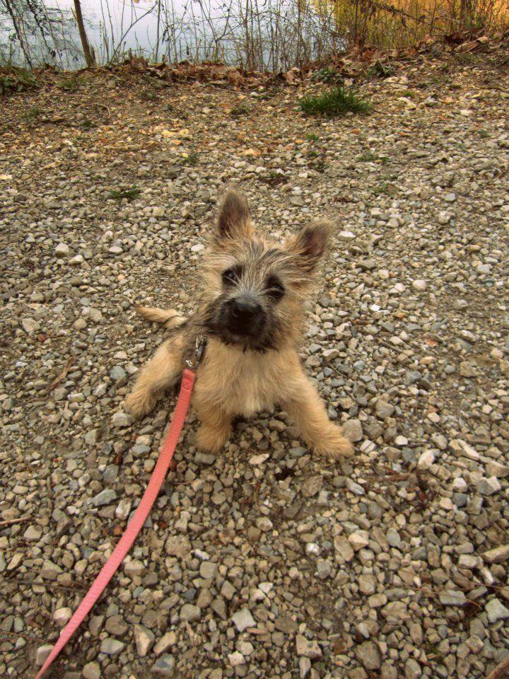 Cairn Terrier Puppy My Love 4 Carne Terrier S Cairn Terrier