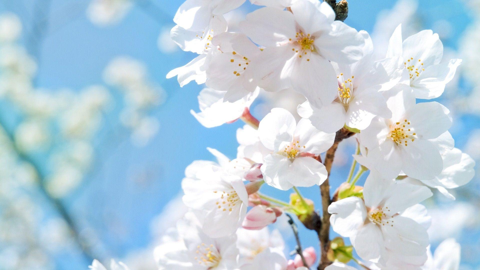 春に白い桜の花 壁紙 1920x1080 White flower wallpaper, Spring