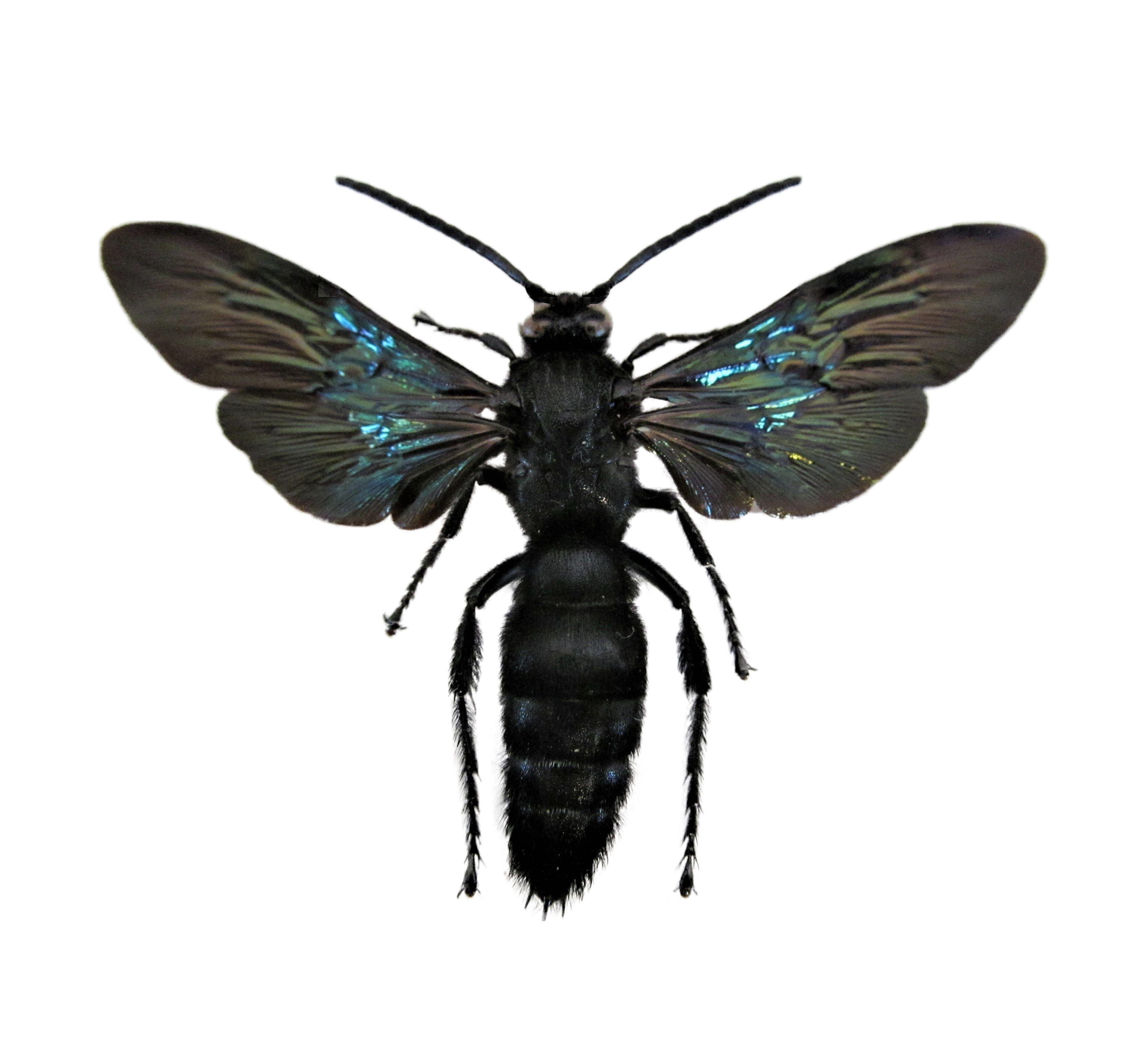 Megascolia azurea wasp Indonesia Wasp, Bees and