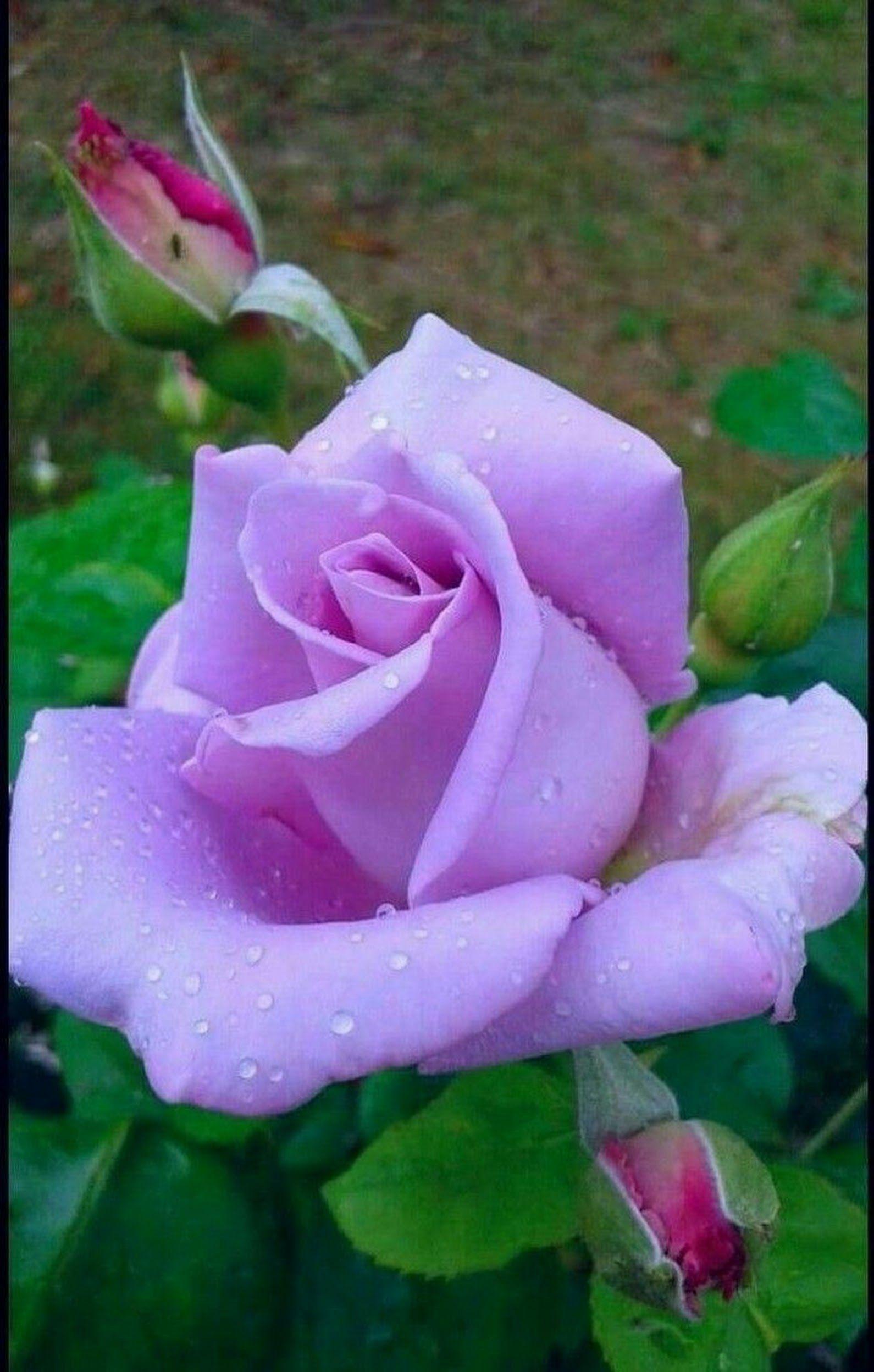 Sign In Beautiful Rose Flowers Rose Flower Purple Roses