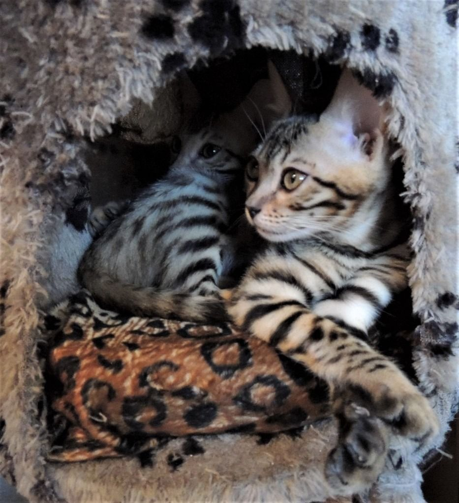 Bengal Kittens In Wood Green London Gumtree Kittens Cute