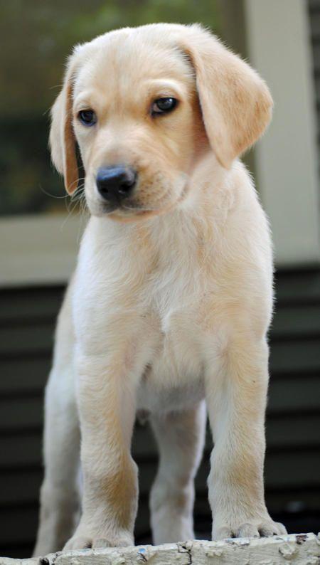 Brinks The Labrador Retriever Pictures 927998 Labrador Retriever Labrador Lab Puppies