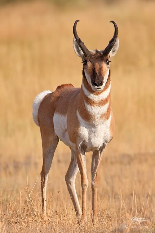 Pronghorns Are Built For Speed Everything About Them Is Geared Towards Moving Fast Over Long Distanc North American Animals American Animals Animals Beautiful