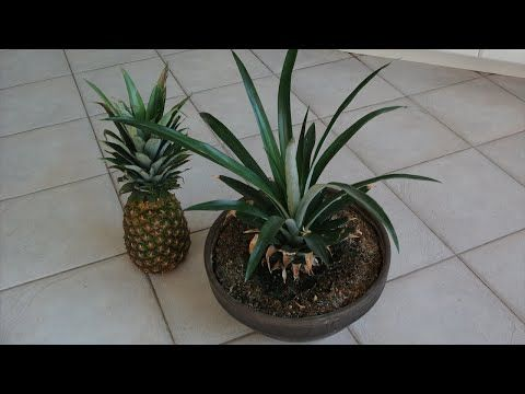 How To Grow A Pineapple From Its Top Works Every Time Youtube Pineapple Planting Plants Growing Pineapple