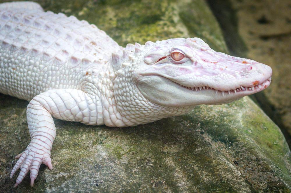 Albino Crocodile Crocodile Animal Rare Albino Animals Albino Animals
