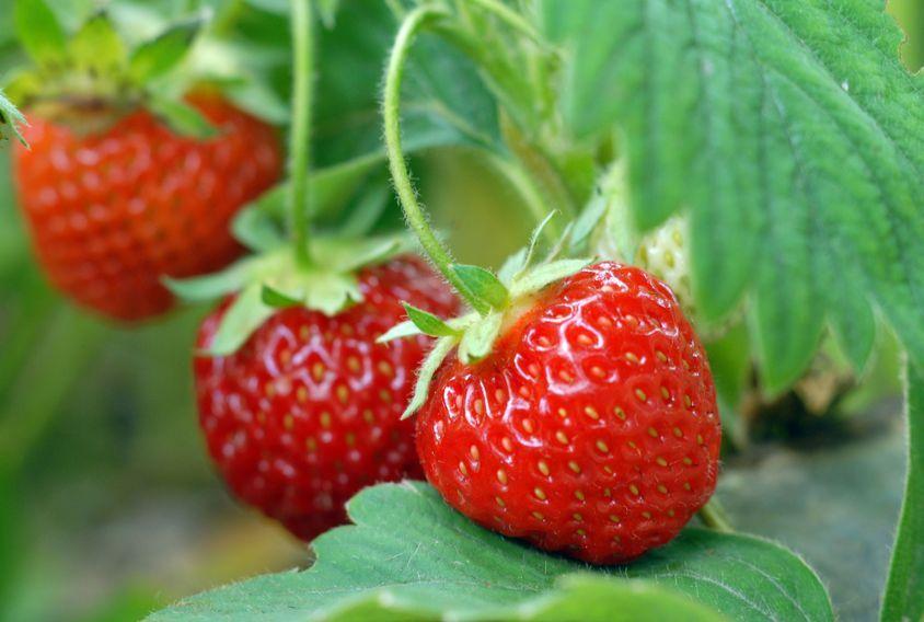 Erdbeeren Im März Pflanzen