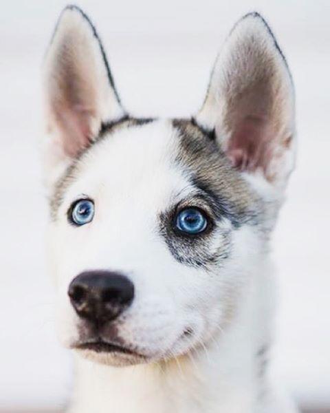 Markings Husky with Eyepatch follow @peteethehusky   Siberian Husky