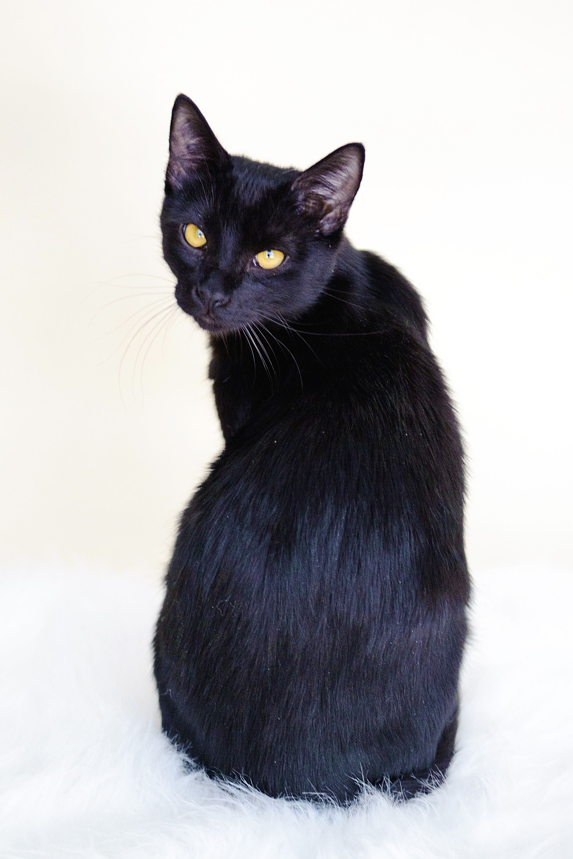 Bombay Cat I M A Total Dog Person But I Ve Always Liked The Look