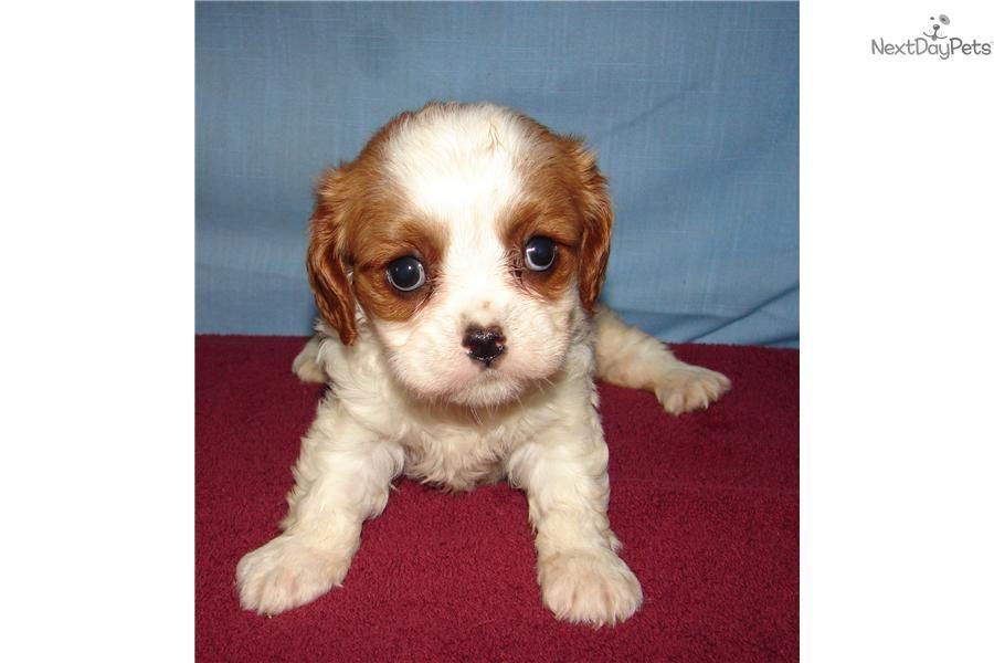 Meet Cooper A Cute Cavalier King Charles Spaniel Puppy For Sale For 400 Cooper Cavalier King Charles Spaniel Spaniel Puppies For Sale Cavalier King Charles