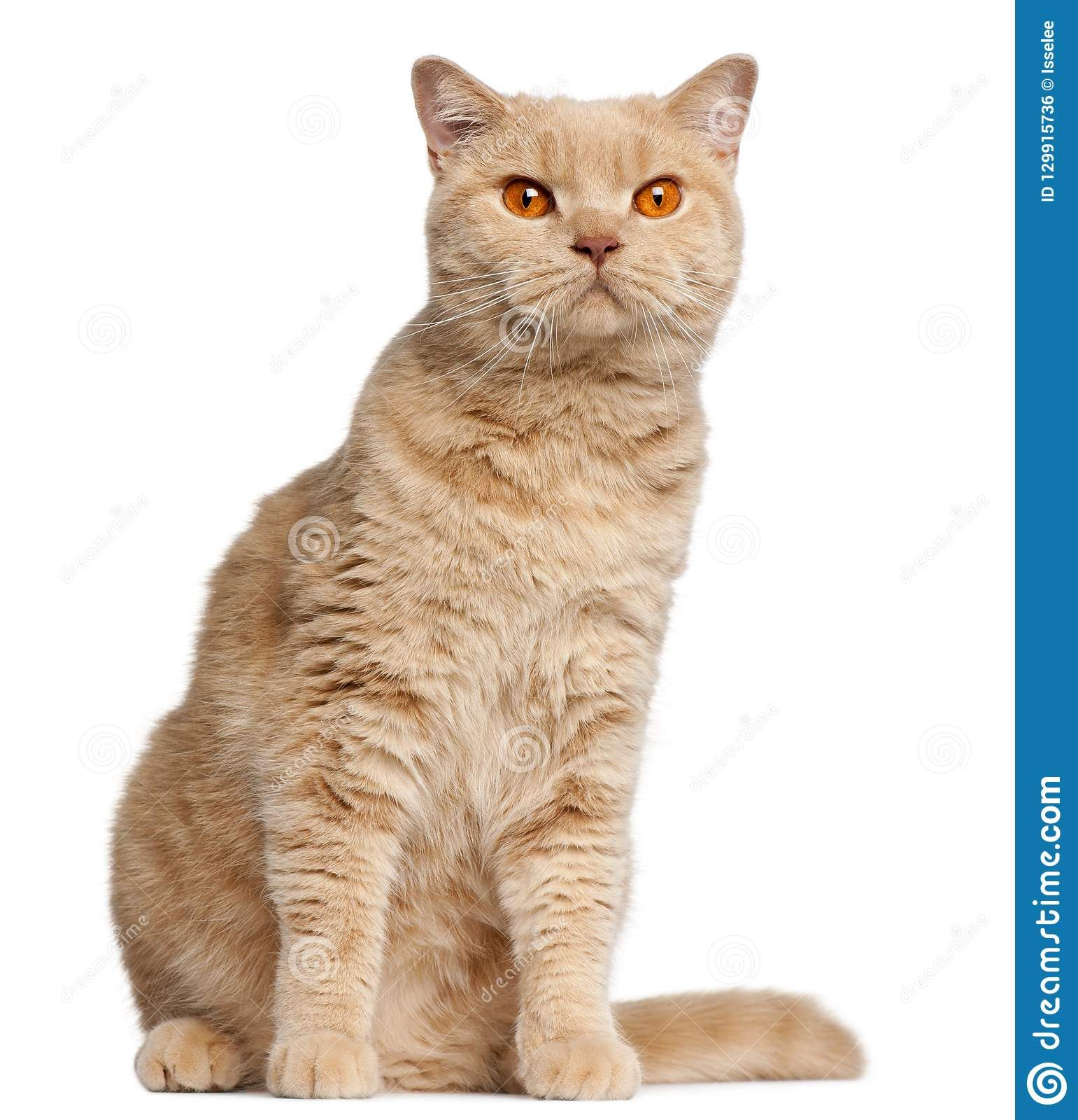 Ginger British Shorthair Cat 1 Year Old In 2020 British Shorthair Cats British Shorthair Cat Years