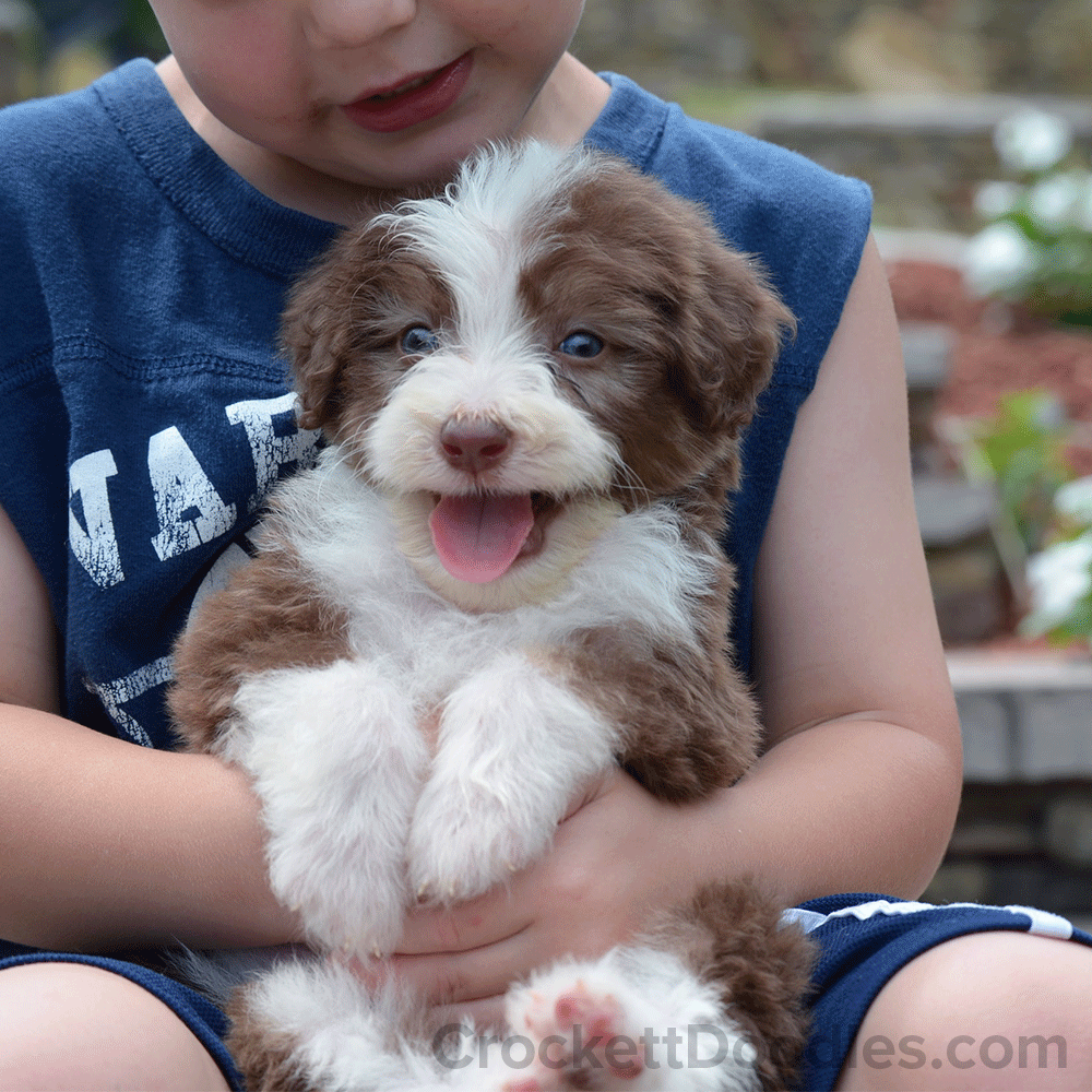 Have You Seen A More Happy Aussiedoodle Puppy Australian