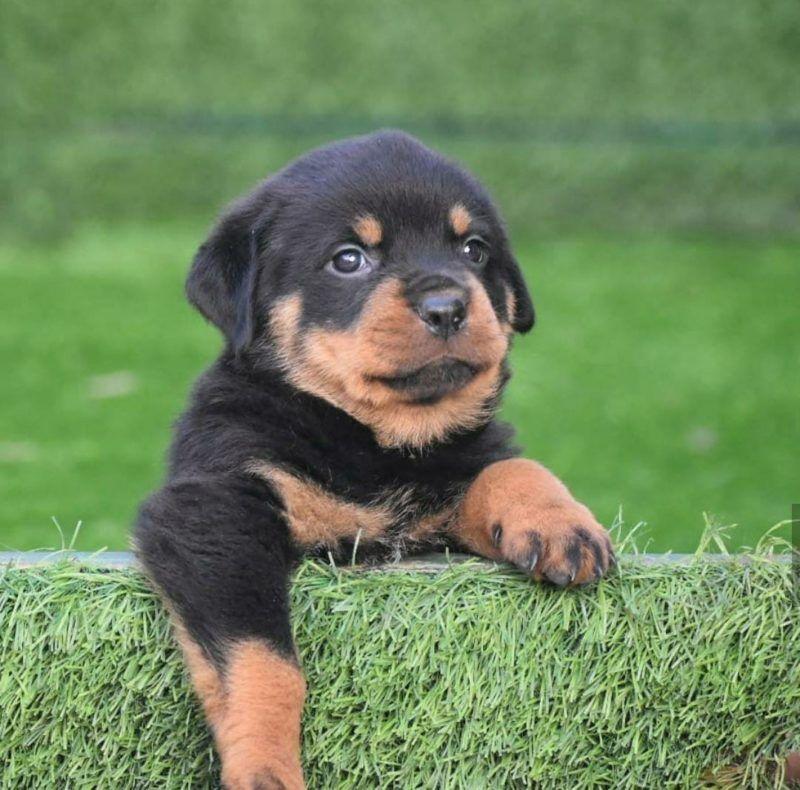 Pet Shops For Dog In Delhi In 2020 Rottweiler Puppies For Sale Rottweiler Puppies Cute Dogs Breeds