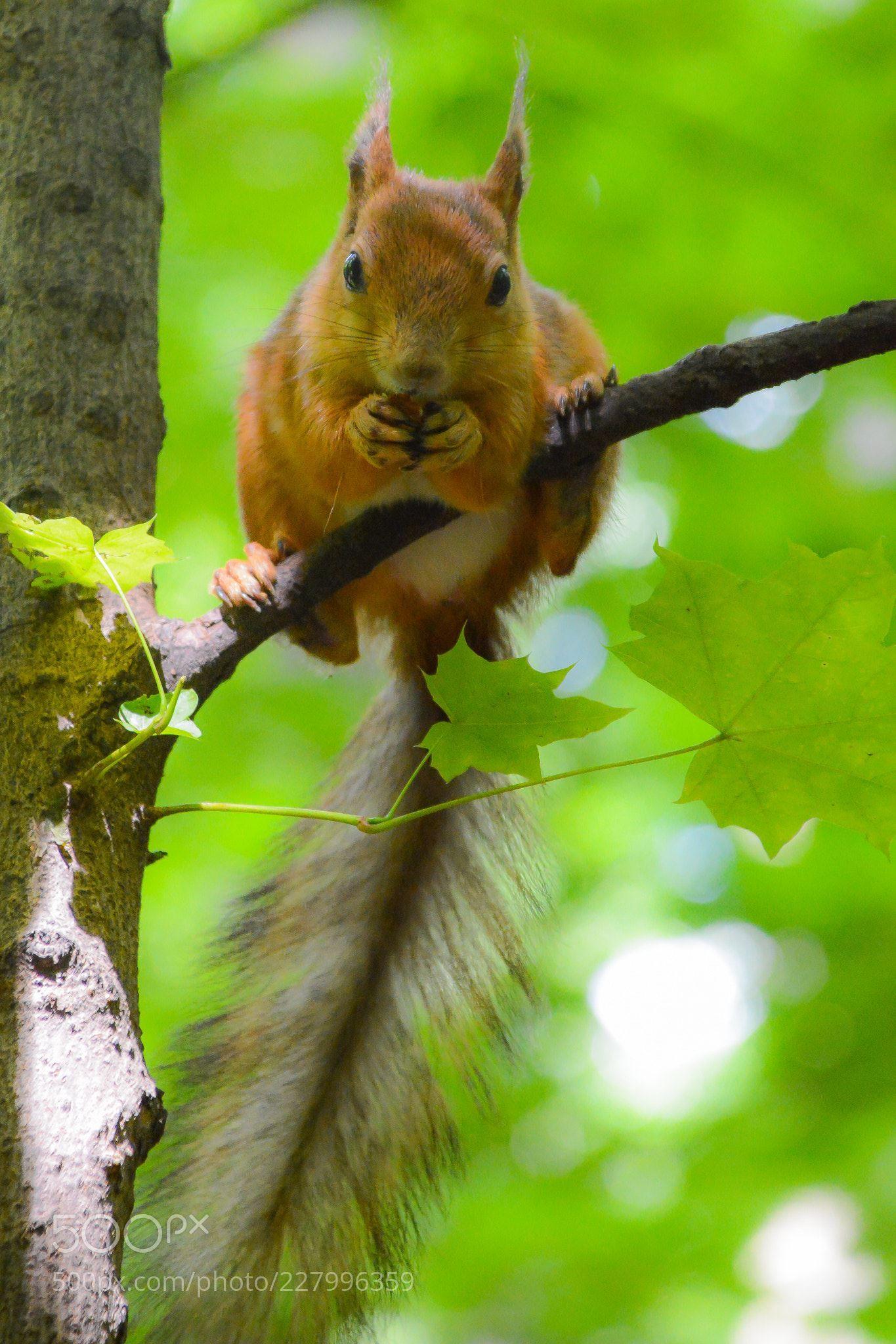 squirrel ivan anisimov moscow russia nikon d7100 animals