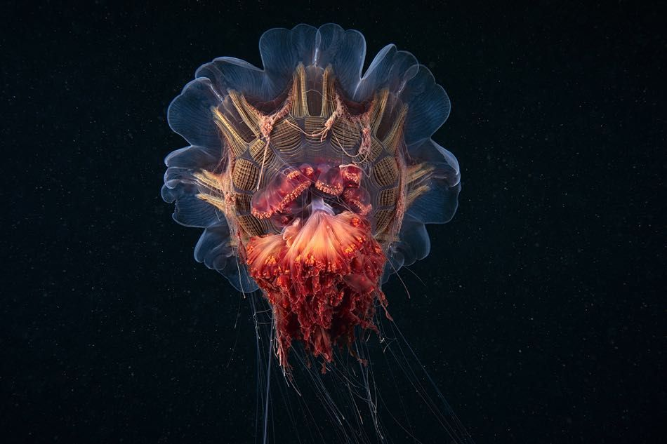 17 NOV: Underwater photographer Alexander Semenov recently captured this image of a Lion's Mane jellyfish. These jellyfish are the largest known species in the world and are usually found in cold waters such as the Arctic North Atlantic and North Pacific. They are cannibals and feed on other jellyfish such as moon jellies. Their sting is not fatal to humans.  Thirty-year-old Semenov from Moscow Russia carries out the majority of his work in the White Sea near the Arctic Circle. He works…