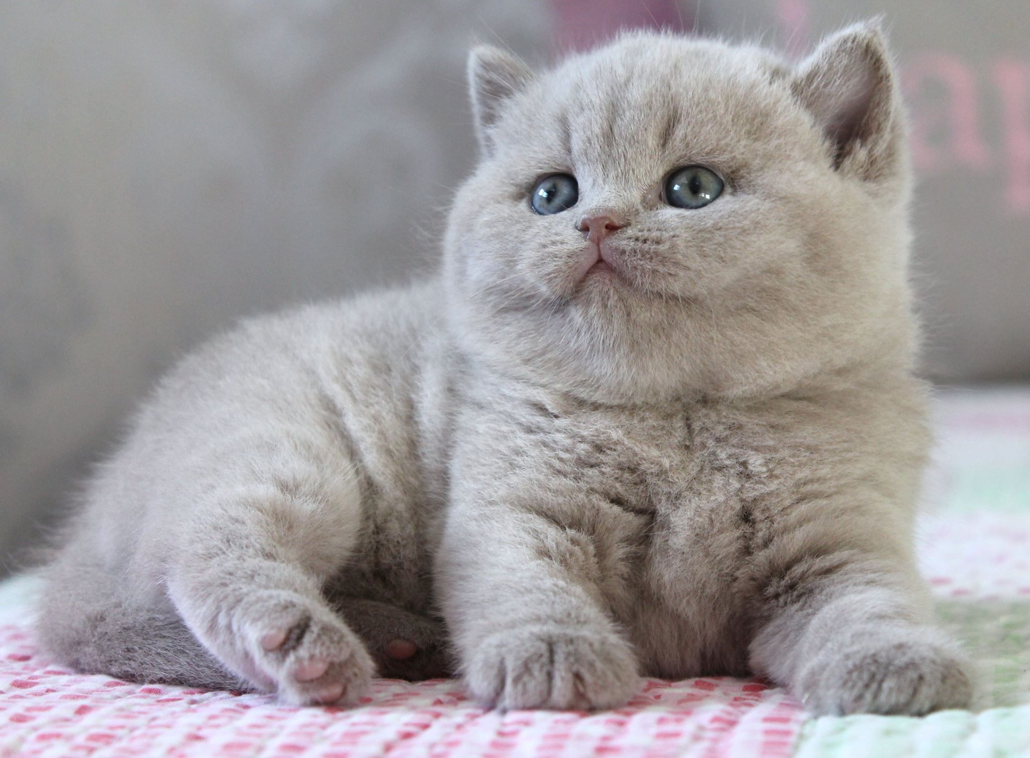 Pin By Grey S Mentality On British Cats British Shorthair