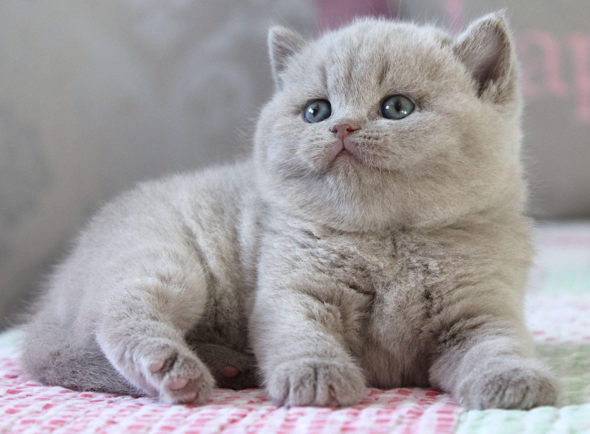 Silver Point British Shorthair Cat American Shorthair Cat