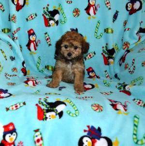 Another Minnesota Cavapoo breeder  | Dogs | Cavapoo, Cavapoo
