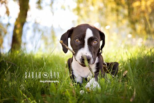 Pitty party ~ Am Staff puppy photo. Pet photography, Calgary Alberta Canada. Vet clinic, pet business: Prints with this front available at  my etsy shop: etsy.com/shop/SarahAnnDogPhotog