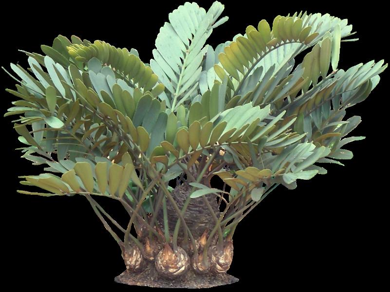 801 601 like by diaism tjann acquire for Planta ornamental zamia