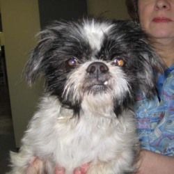 Henry Is An Adoptable Shih Tzu Dog In Glasgow Ky Henry Needs A