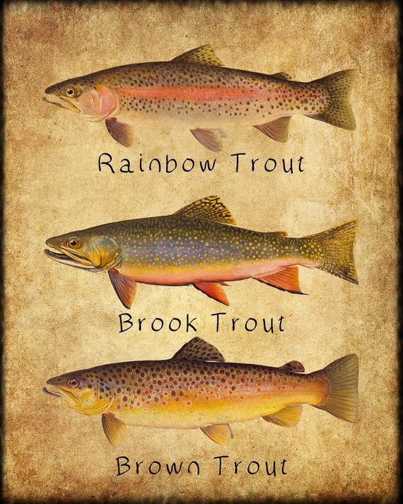 Trout Poster Fish Print Rainbow Brook Brown Rainbow