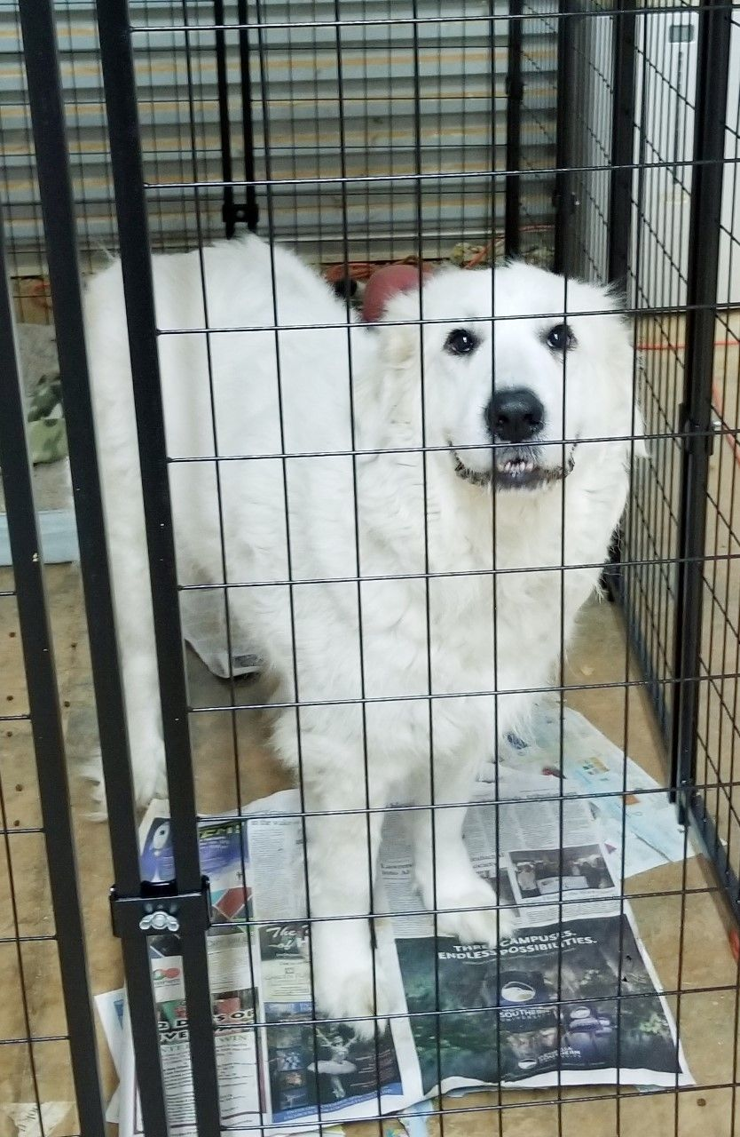 Adopt Maggie On Dogs In Need Of Homes Dogs Great Pyrenees Dog