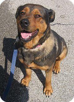 Beauty Akron Oh Rottweiler Shepherd Unknown Type Mix Meet
