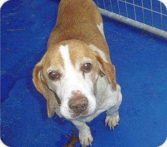 New Kent, VA Beagle Mix. Meet Jerry a Dog for Adoption