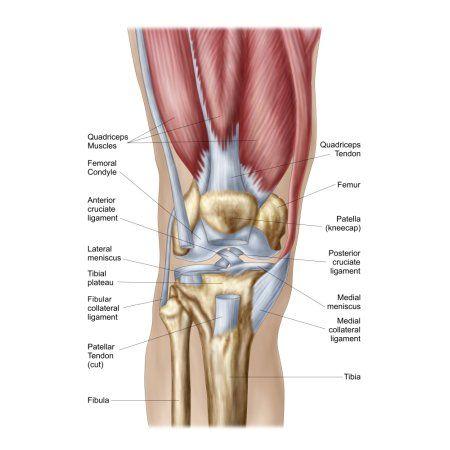 Anatomy Of Human Knee Joint Canvas Art Stocktrek Images 12 X 18