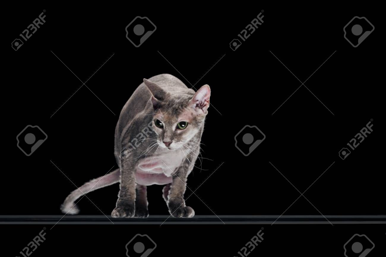 domestic grey sphynx cat moving and looking away isolated on black Stock Photo , #Aff, #sphynx, #cat, #domestic, #grey, #moving