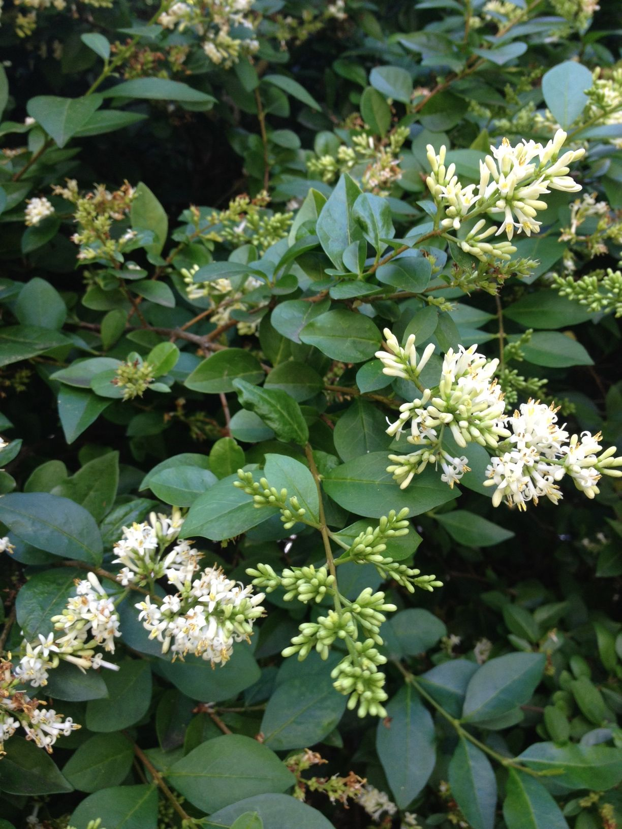 Outdoor Privet Hedge Plants For Admirable Garden And Landscaping