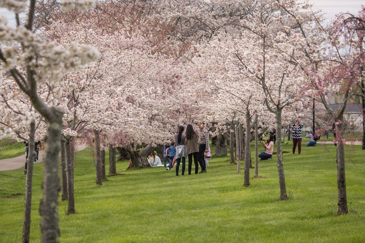 Sakura Cherry Trees Blossoming Along The Hockhocking Adena Bikeway In Athens Athens Landscape Ohio University