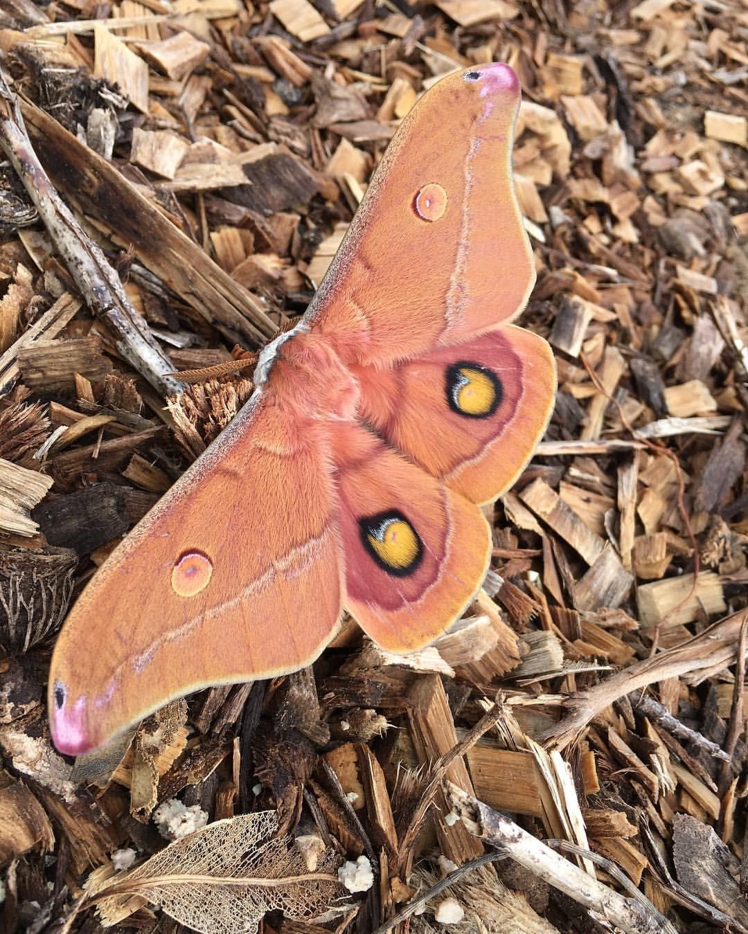 Emperor Gum Moth | Moth tattoo meaning, Moth symbolism ...