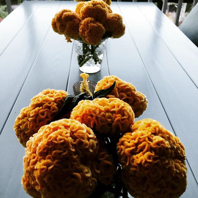 Celosia is amazing ! These peach colored cockscomb have been a real hit in the garden….and on the on the table! #sharethebounty #homegrown #Sakata #seed #naturalbeauty #abundance #organic #jobes #gardenhome #joy
