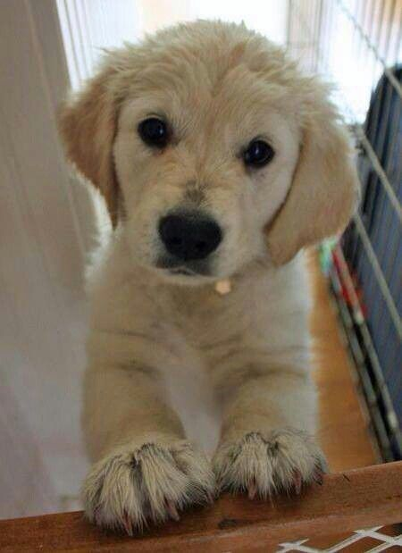 Curious Labrador Dog Pictures Puppies Labrador Retriever