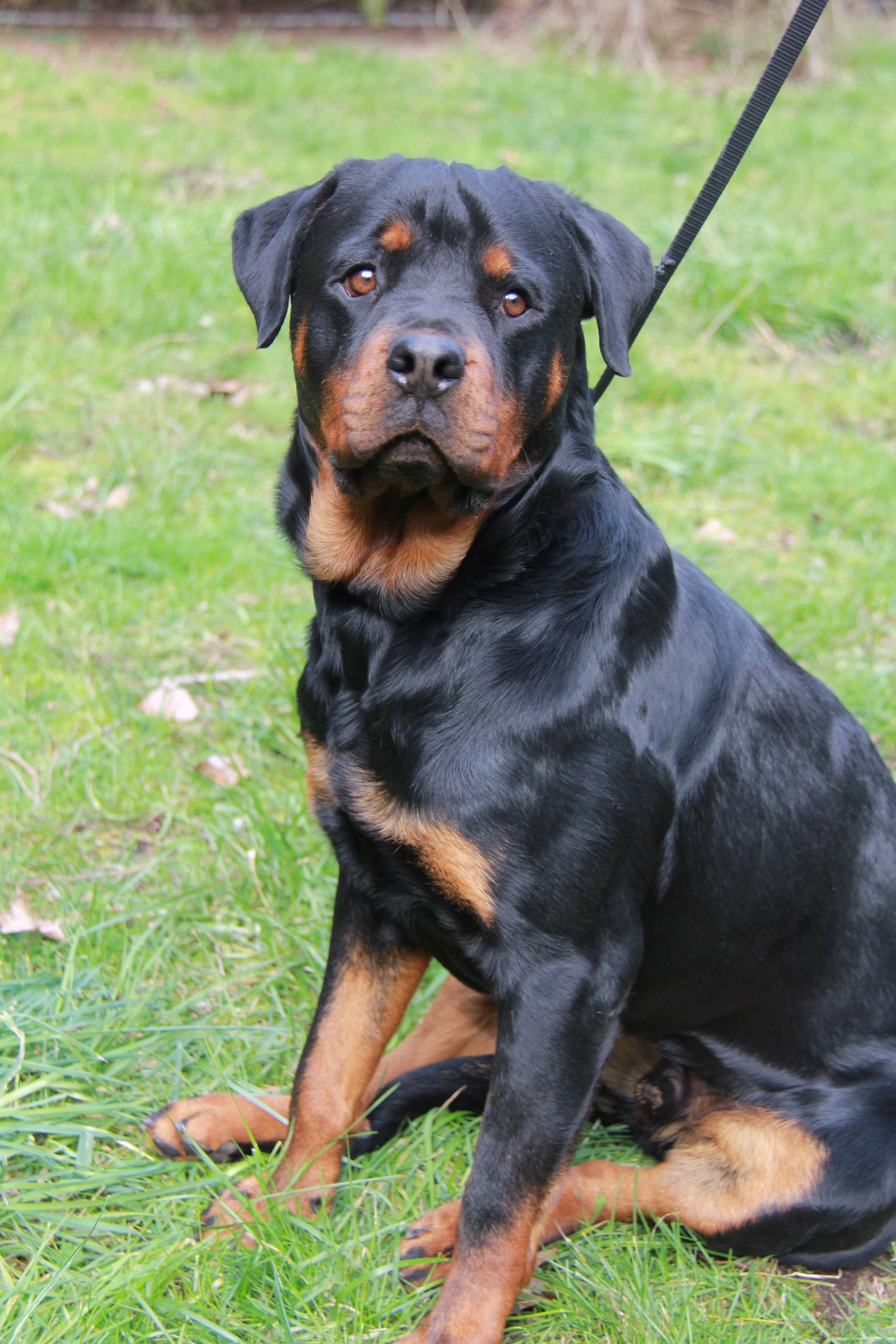 Adopt Leo Adopted On Rottweiler Dog Dogs Rottweiler